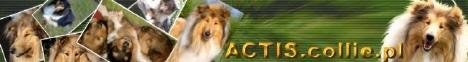 ACTIS hodowla Owczarków Szkockich-COLLIE