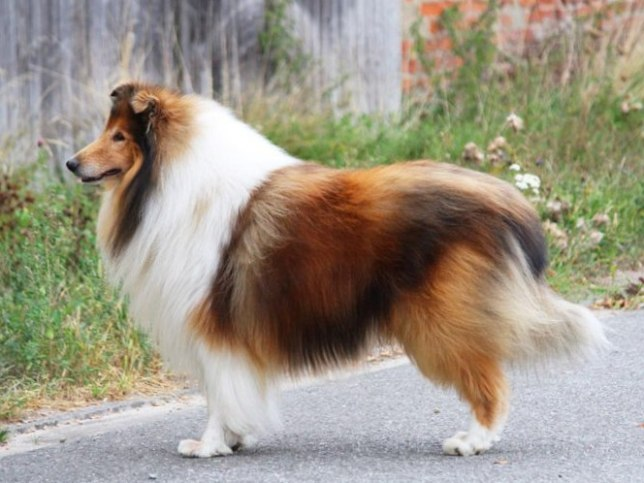 collie Elpaso